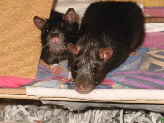 Aplicaciones magn ticas montar un cercado una jaula - Como acabar con las ratas en mi casa ...